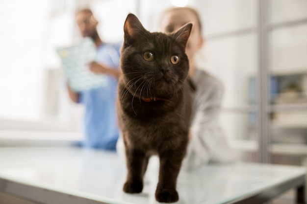 Gatto lanuginoso sveglio che sta sulla tavola davanti alla macchina fotografica su fondo del suoi piccolo proprietario e veterinario