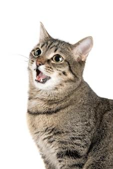 Gatto miagolante