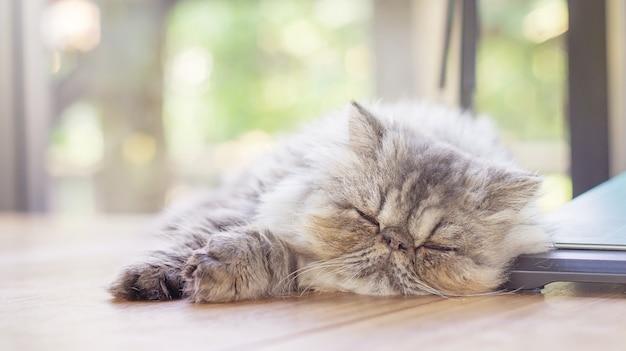 Gatto persiano a strisce grigio che dorme su uno scrittorio, fuoco molle.