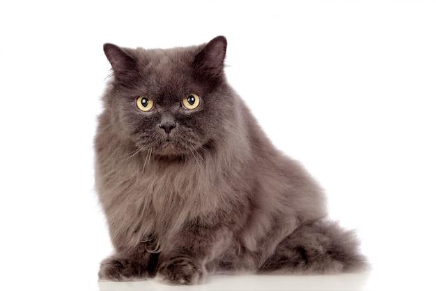 Gatto persiano adorabile isolato su fondo bianco