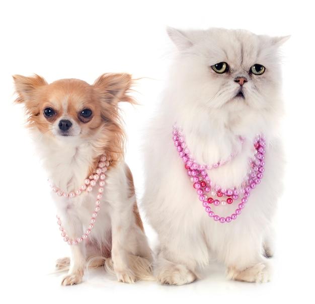 Gatto persiano bianco e chihuahua