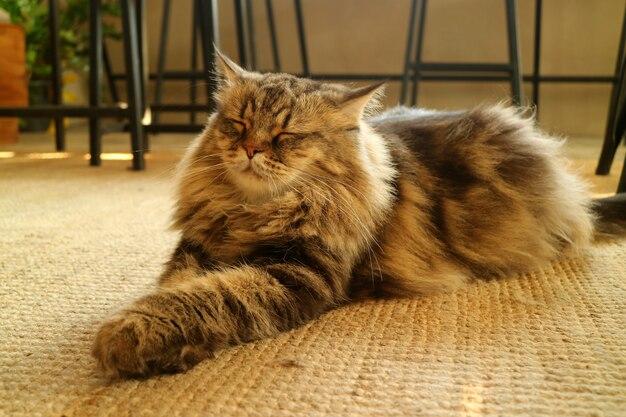 Gatto persiano marrone rilassato dei capelli lanuginosi sonnolenti sul pavimento