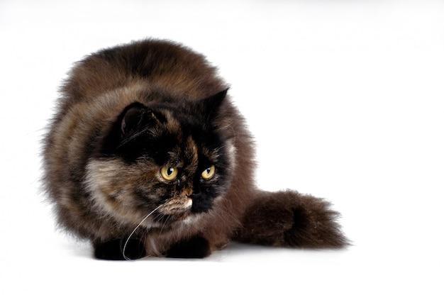 Gatto persiano su bianco