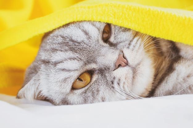 Gatto piega scozzese a strisce nere e grigie dorme su un divano sotto un plaid giallo.