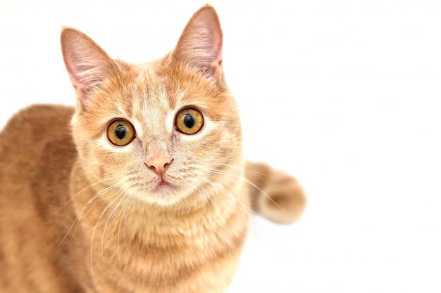 Gatto rosso che osserva in su isolato su bianco
