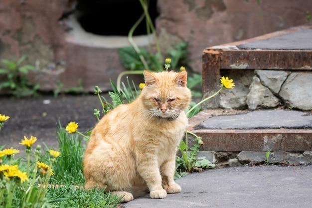 Gatto rosso con gli occhi irritati