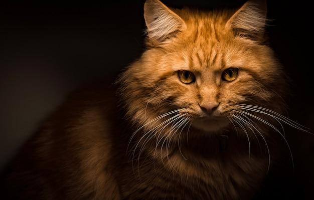 Gatto rosso del maine coon che raffredda intorno alla casa