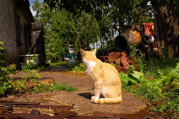 Gatto rosso nel cortile della casa nel villaggio. il gatto rosso cammina l'estate all'aperto