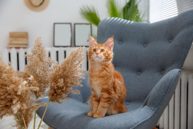 Gatto rosso seduto su una sedia. gatto rosso maine coon