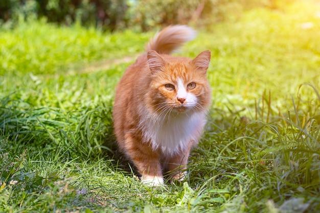 Gatto rosso sull'erba verde