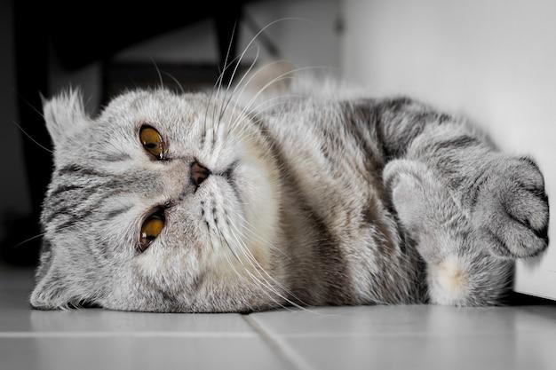 Gatto scottish fold accovacciato sul pavimento.