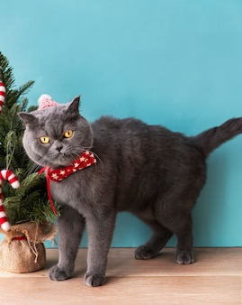 Gatto scottish fold indossa un fiocco rosso festeggia il natale