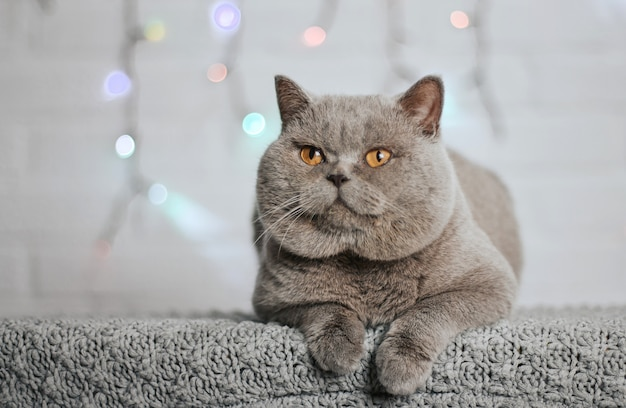 Gatto scozzese grigio con grandi guance e occhi gialli