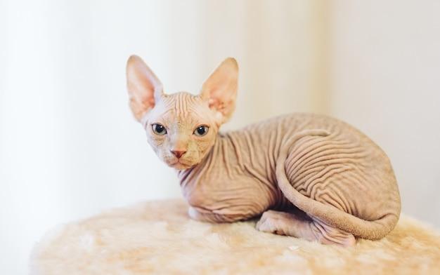 Gatto sfinge senza peli.