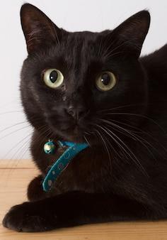 Gatto siberiano nero su bianco
