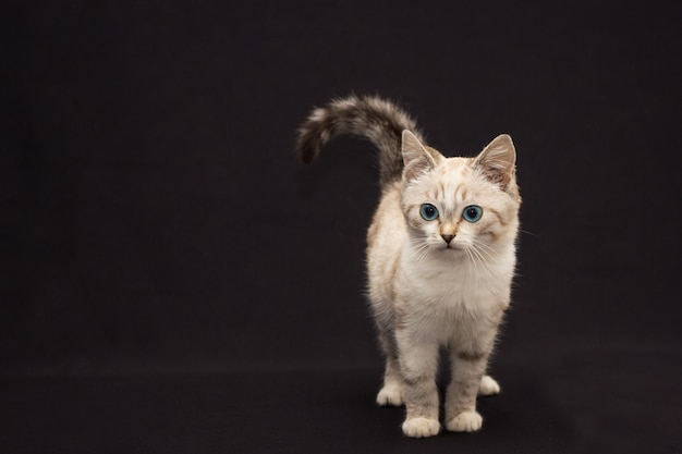 Gatto simile a pelliccia grigio con gli occhi azzurri su fondo nero