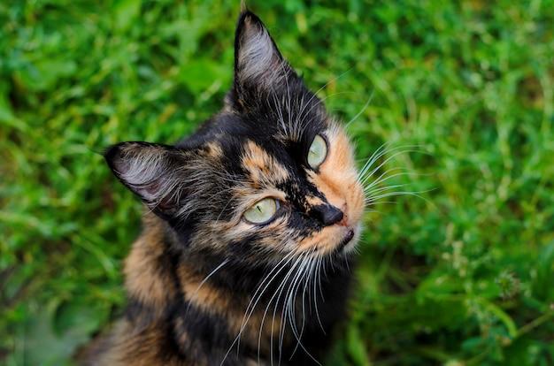 Gatto strega tartaruga tricolore con occhi gialli su sfondo di erba verde,