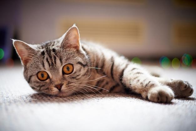 Gatto sveglio sul pavimento su uno sfondo sfocato con bokeh.