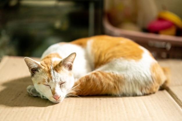 Gatto tailandese marrone e bianco addormentato su carta del cartone con fondo vago.