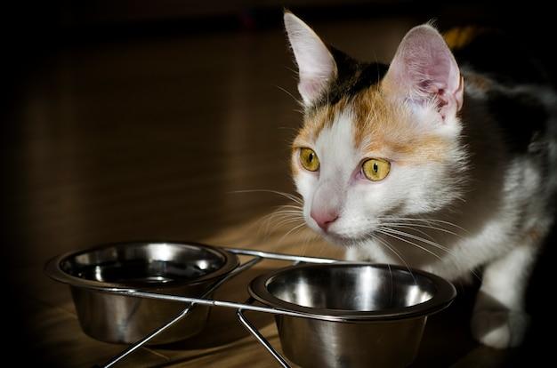Gatto tricolore affamato mangia cibo secco. salutare. olistico.