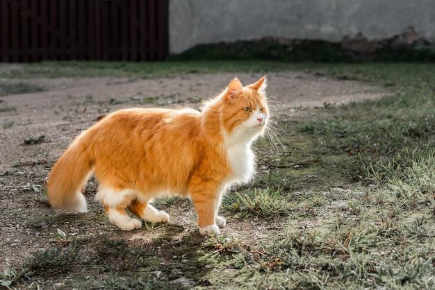 Gatto triste dello zenzero con gli occhi verdi che cammina nel cortile.