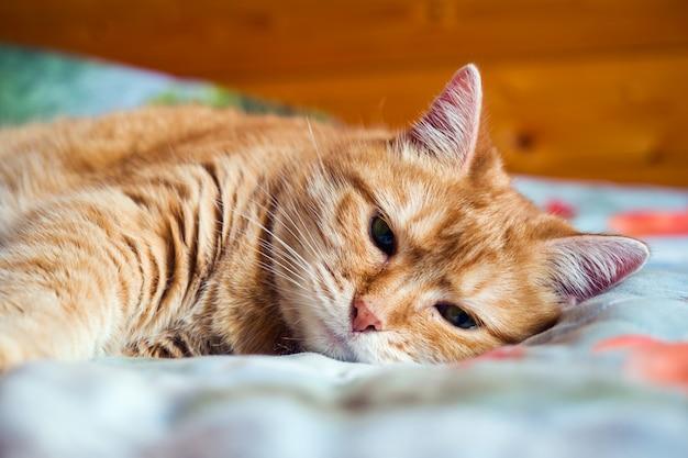 Gatto zenzero sul letto in una coperta
