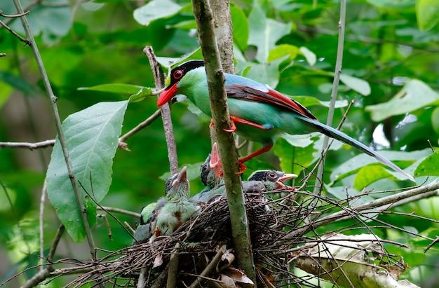 Gazza verde comune cissa chinensis bei uccelli della tailandia con il bambino nel nido