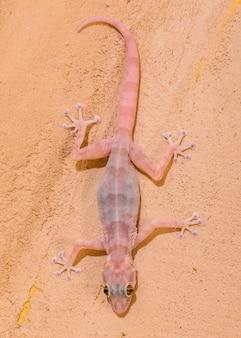 Gecko sulla parete