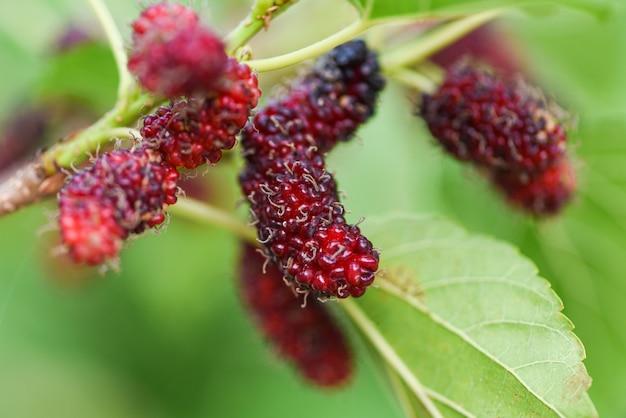 Gelso fresco sull'albero / i gelsi rossi maturi fruttificano sul ramo e sulla foglia verde nel giardino