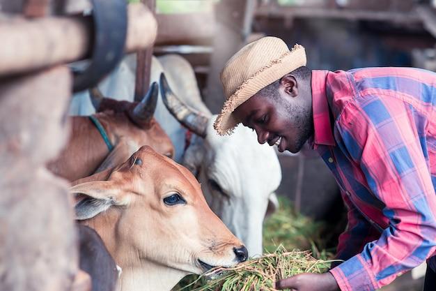 Gentilezza agricoltore africano alimentazione mucche con erba presso l'azienda agricola