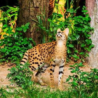 Gepard che cammina nell'erba verde