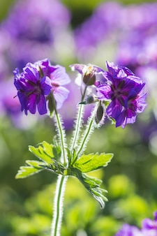 Gerani in fiore nel giardino