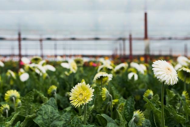 Gerbera fiori all'interno della serra
