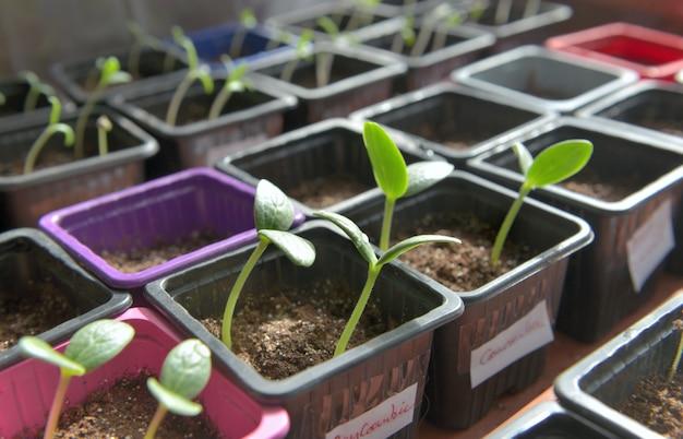 Germogli che crescono in piccoli vasi in una serra