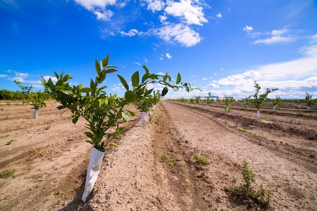 Germogli di arance con tronco protetto contro i roditori