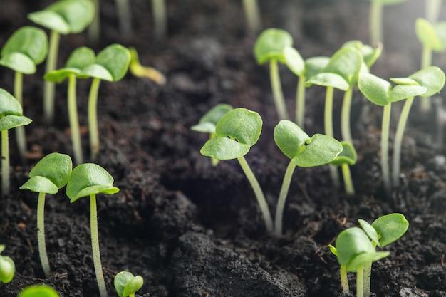 Germogli di basilico sono germogliati nel terreno.