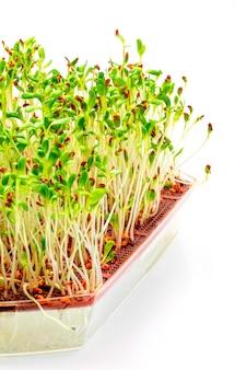 Germogli di erba medica germinati.