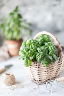 Germogli di erbe nella pentola e nel cestino. piantare in primavera.