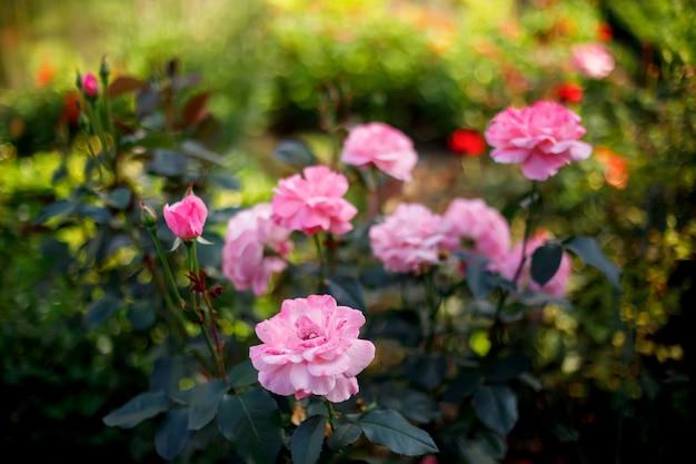 Germogli di fiori rosa rosa che fioriscono nel giardino