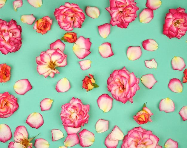 Germogli di fioritura delle rose rosa su verde
