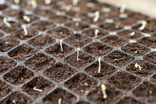 Germogli di piantine che crescono sul terreno nel vassoio