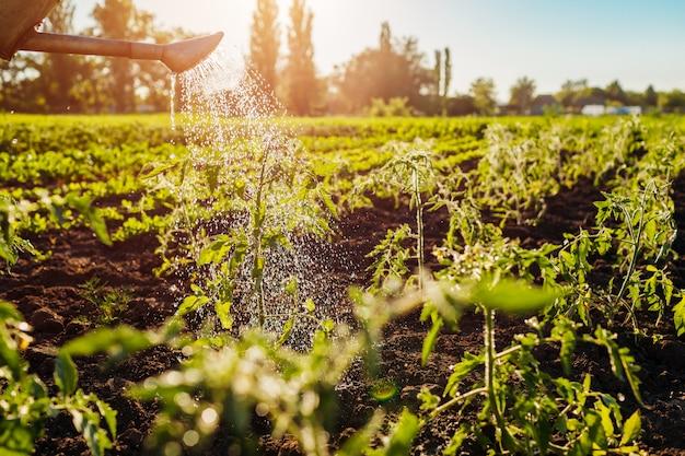 Germogli di pomodoro d'innaffiatura da un annaffiatoio al tramonto in campagna