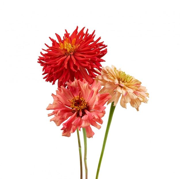 Germogli di zinnia di fioritura rosa e rossi