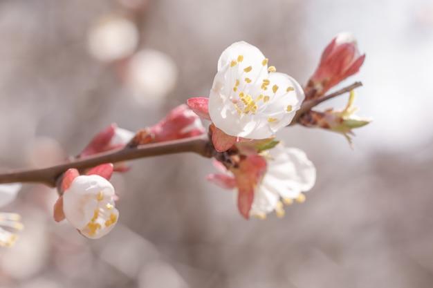 Germogli e fiore di apertura dell'albero di albicocca