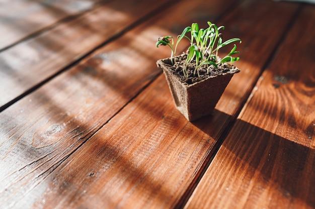 Germogli freschi, pianta in vaso biodegradabile. eco giardinaggio a casa