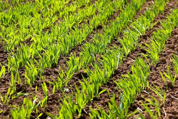 Germogli verdi e foglie di grano invernale