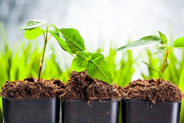 Germogli verdi sono spuntati nel terreno