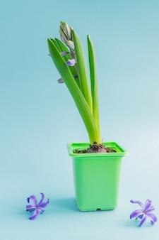 Germoglio chiuso del fiore blu del giacinto in vaso verde del trasporto
