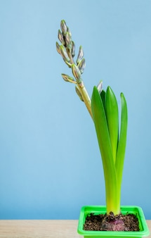 Germoglio chiuso del fiore blu del giacinto in vaso verde