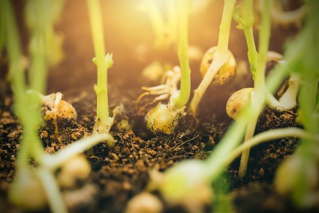 Germoglio del primo piano del germoglio della pianta verde dal seme su suolo